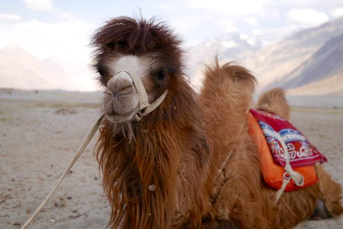 A nubra camel.