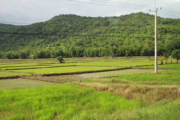 Ghost Festival: Rice fields