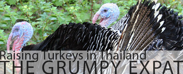 The Grumpy Expat: Raising Turkeys in Thailand