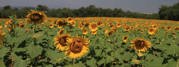 Sunflowers in Thailand
