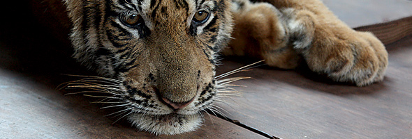 Tiger Temple Sues Cub
