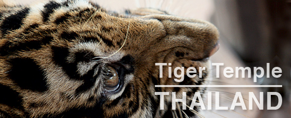 Tiger Temple Sues Conservationists
