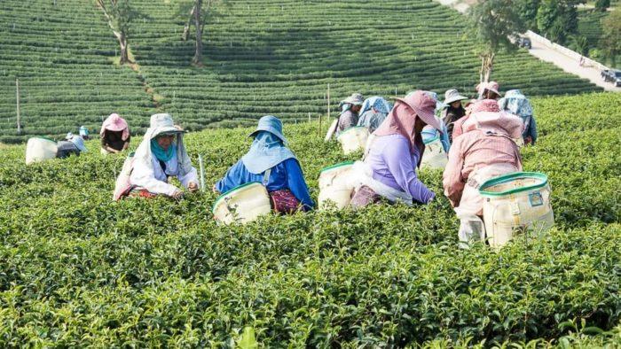 Tea plantation in chiang rai
